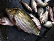 冬季钓野河收获过斤野生大鲫鱼