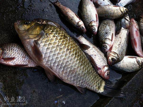 冬季野河釣鯽魚