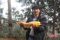 江西钓友在长江边钓到罕见黄金鲶鱼