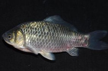 野外河流钓鲫鱼用什么鱼饵
