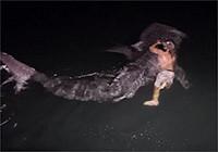 澳大利亚渔民骑鲨鱼,艺高胆大就是任性