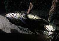 細線硬竿搏斗26斤大青魚