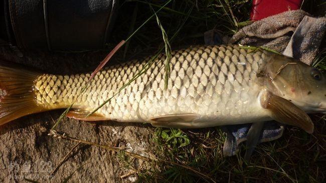 大鲤鱼连同毛巾一起上岸了