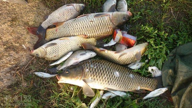 钓获野生大鲤鱼