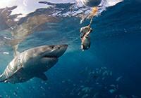"""游客与""""海洋杀手""""大白鲨近距亲密接触"""