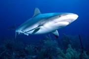 澳洲漁民捕獲3噸巨型姥鯊贈與博物館