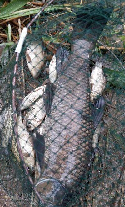 看看最后的收获,一尾餐鱼,十来条小鲫鱼加上一条青鱼