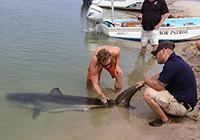 美国大白鲨搁浅,众游客泼水相救