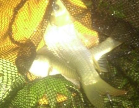 重温百斤鱼获 化氏饵料钓鲢鳙鱼