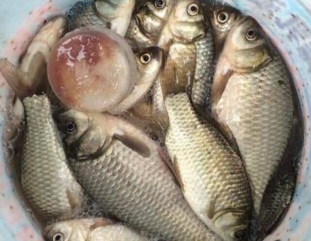 七星漂群友(秋冬)大量魚獲照片(鯽魚)毒毒毒(附鯽魚窩料)?。。。。。。?!