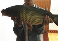 秋季雨天商品饵野河并继竿战野生大鲤鱼