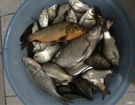 荷花塘的教训 化氏饵料钓鲢鳙鱼