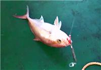 《海钓视频》 钓友路亚海钓频频上鱼