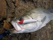 德州钓组在冬季路亚鲈鱼中的优势