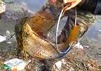 《垂钓对象鱼视频》春季水库手竿爆擒大鲤鱼