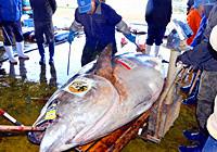 渔民捕获834斤蓝鳍金枪鱼高清图片