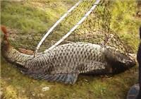 《垂钓对象鱼视频》 男子手竿野钓擒获15斤大鲤鱼