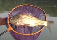 《垂钓对象鱼视频》男子夏季湖面垂钓收获大鲫鱼