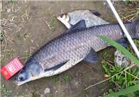 春季野钓使用新竿细线收获大青鱼