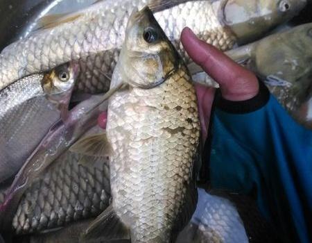 良崇水库拔大草,一条两条三四条。 自制饵料钓鳊鱼
