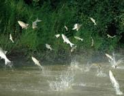 亚洲鲤鱼在美国疯狂繁殖国内派垂钓队伍援助