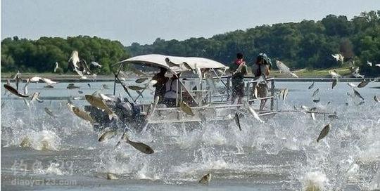 亚洲鲤鱼在美国疯狂繁殖国内派垂钓队伍援助-轻博客