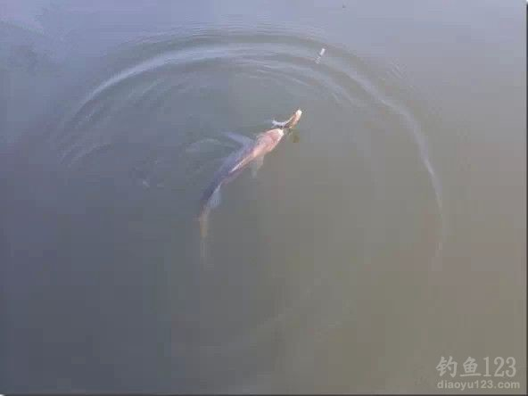 麻團蘸餌釣大鯽魚