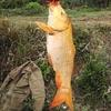 黄橙鱼橙黄