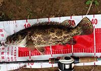 水库探钓巨物斑鳜鱼