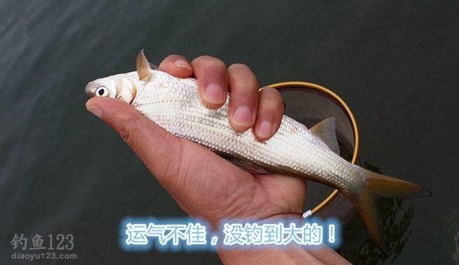钓小黄尾鱼