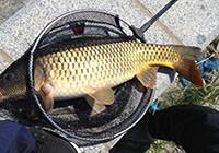 水庫堅守終上黃金大鯉魚