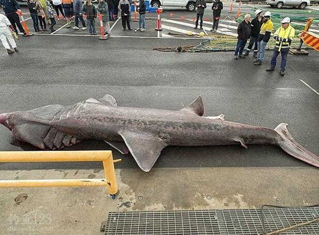 澳洲渔民捕获罕见巨型姥鲨 赠与博物馆研究