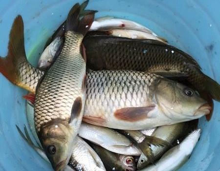 两天库战,五粮诱、自制发酵麦子实战记录 钓鱼之家饵料钓翘嘴