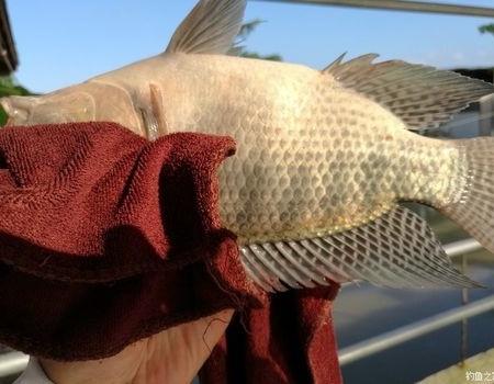 夏季咸淡水,卢阳降鲻鱼。 自制饵料钓罗非鱼