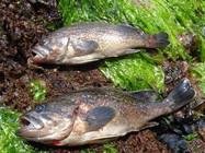 六点详解黑鮶鱼的路亚钓法
