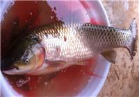 野塘鲜玉米打窝手杆冒雨台钓18斤大草鱼