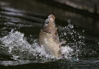 《媛来如此》地瓜讲解黑坑竞技池钓猾口鲤鱼的调漂技巧