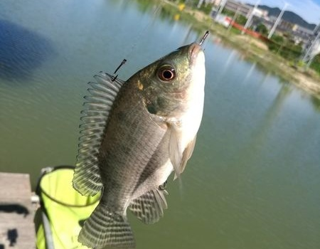 夏天淡水,纯玩小非! 自制饵料钓草鱼