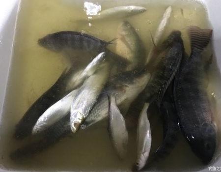 松山湖,曾经的乐园 老鬼饵料钓鲮鱼