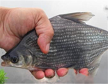 夏季陰雨天野塘釣鳊魚鯽魚小草魚
