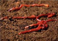 《鱼饵配制视频》原来挖蚯蚓是这么的简单