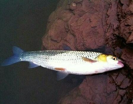 单子线挂虫饵喂近钓远 长寿湖寻鳜鱼连上鳟鲫 自制饵料钓鳜鱼