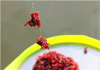 《鱼饵配制视频》正确使用红虫拉饵的方法
