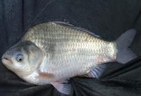 常见的淡水鱼习性和垂钓技巧(一)