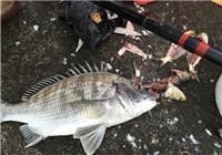 海钓渔获——朋友带我去海钓黑鲷鱼