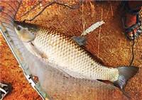 《垂钓对象鱼视频》 河边野钓手竿擒获20斤大草鱼