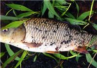 春季冒雨用酒米窝料野钓大鲤鱼