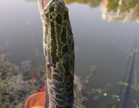 """秋天是个收获的季节,也是钓鱼人的""""鲫鱼节""""。"""