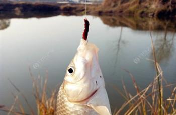 秋季野釣大鯽魚的最強釣法!