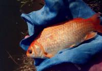 秋季野釣鯽魚之魚餌選擇!